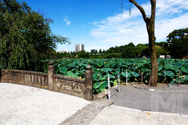 Ueno Lotus Pond สระบัวสวนอุเอโนะ